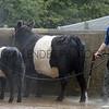 037 cattle wash