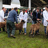 053 sheep gv