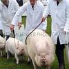 056 pigs gv