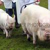 057 pigs gv