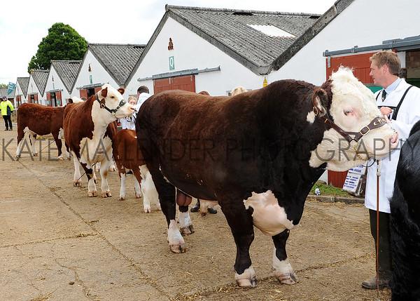 036 cattle gv