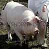 GYS 2012 Wednesday:The pig judging continues as the pigs seem very happy with the mud. The Supreme pig class. 8, Richardson SJ & Wood J A Messrs from Sale in Cheshire. <br /> pic: doug jackson