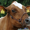 091 dairy gv