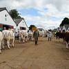 035 cattle gv