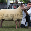 GYS 2012 ,Wednesday, GSupreme Sheep Champion 2011, British Rouge owned by Percy Tait of Worcester with handler Will Price<br /> Pic: Doug Jackson