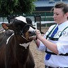 044 dairy young handler