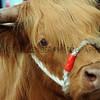 034 cattle gv