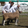 GYS 2012 ,Wednesday, Supreme sheep judging.<br /> Pic: Doug Jackson