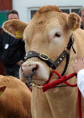 002 cattle gv