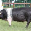 GYS 2012 Wednesday:The Supreme pig. Amanda Thomas with a  British Saddleback gilt ,Pantysgawen Rosette 15.<br /> pic: doug jackson