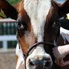 063 dairy gv