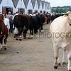 032 cattle gv