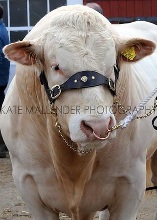 004 cattle gv