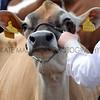 055 dairy gv