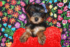 PUPPY NUMBER: # 499<br /> Sold to: Phyllis W.<br /> Date Sold: April 2007<br /> From: Dallas TX<br /> BREED: Yorkie<br /> SEX: Female<br /> SIZE: Toy<br /> D.O.B: 1-23-07<br /> COLOR: Black & Gold<br /> <br /> Starting Price was: $ 1575.00<br /> Final Price Paid: $ 1575.00<br /> Sales Representative: Becky<br /> <br /> Click the ( BUY THIS PHOTO ) icon under photo to purchase this puppy picture.<br /> Photos are available in wallets, 8 X 10, 5 x 7, on key chains, mouse pads, back packs, coffee mugs and T-Shirts and more.<br /> <br /> This Photo is copy right protected by:<br /> Teacup And Toy Pets