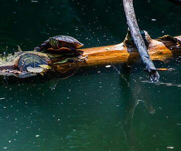 Eastern Painted Turtle Basking in Sun  with Reflection