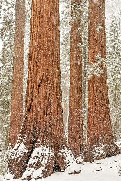 Bachelor and Three Graces, Mariposa Grove of Giant Sequoias, Yosemite National Park, CA
