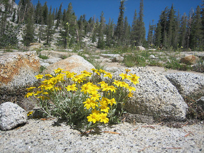 Beautiful flowers grew in niches in the granite. The trail switchbacks up the mountain in back to May Lake. © Kimberly Barnett