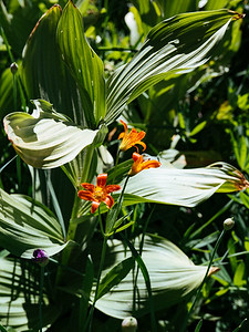 Alpine lily and corn lily