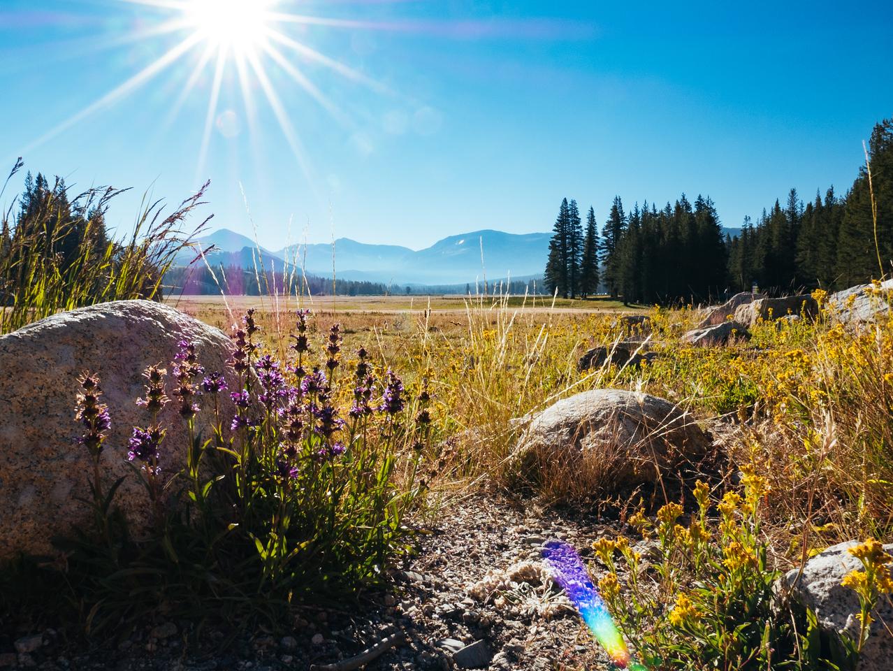 Tuolumne wildflowers