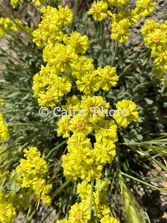 Sulphur-flowered Buckwheat