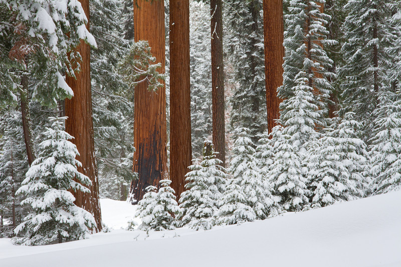 Christmas trees in the Giants - Sequoia National Park, California - D'An Holmes Glueckert - February 2013