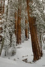 Deep in the Sequoia Forest - Sequoia National Park, California - Mark Gromko - February 2013
