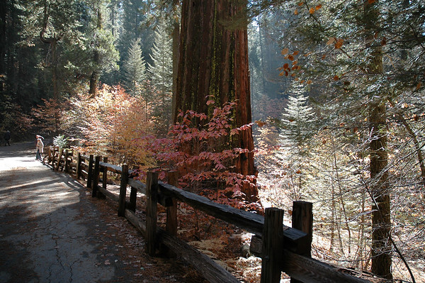 Tuolumne Grove of Giant Sequoias - Yosemite National Park