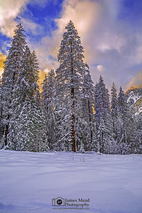 """Sleeping Giants,"" Sunset over tall Pine trees and a snow covered Yosemite Meadow, Yosemite National Park, California"