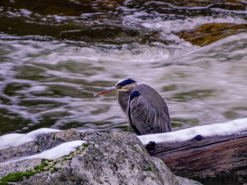 Great Blue Heron along the rushing Merced