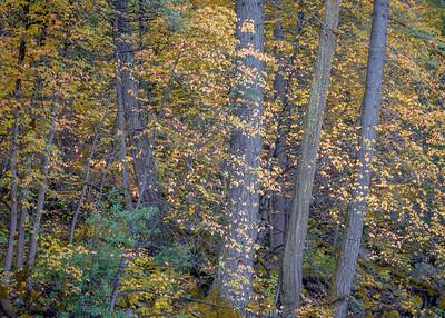 Autumn, Pohono Dogwoods