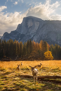 Family of deer with Half Dome at sunrise