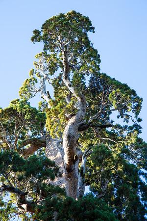 "The ""Tree-Top"" Tree"