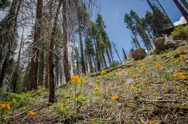 Spring Flowers: Mariposa Grove of Giant Sequoias