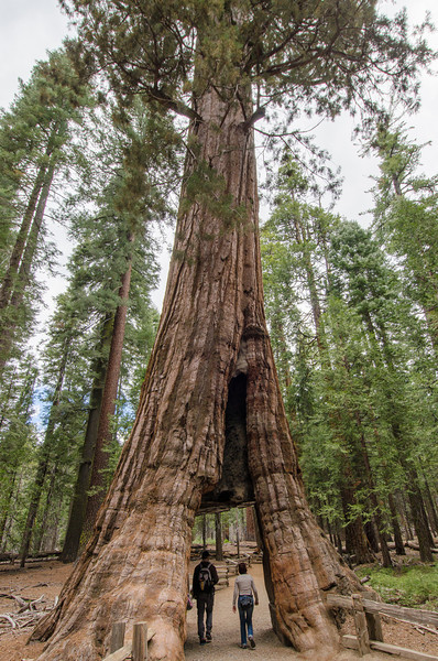 California Tunnel Tree: Mariposa Grove of Giant Sequoias