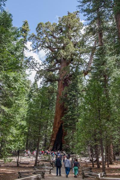 The Grizzley Giant Tree: Mariposa Grove of Giant Sequoias