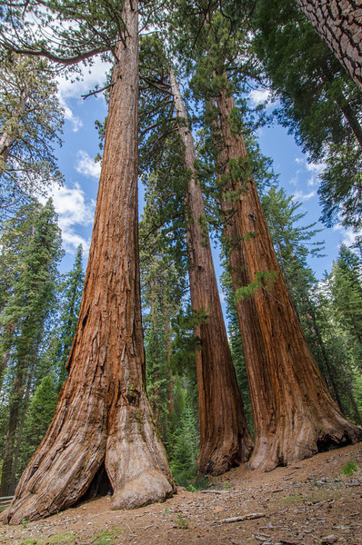 The Bachelor and Three Graces: Mariposa Grove of Giant Sequoias