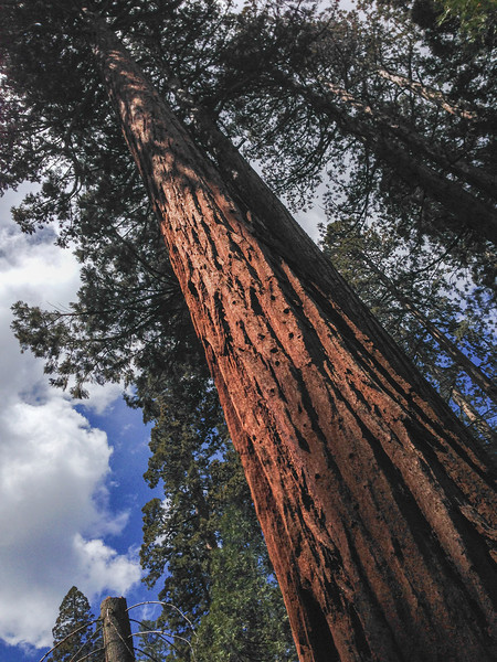 Things to do in Yosemite: Mariposa Grove of Giant Sequoias