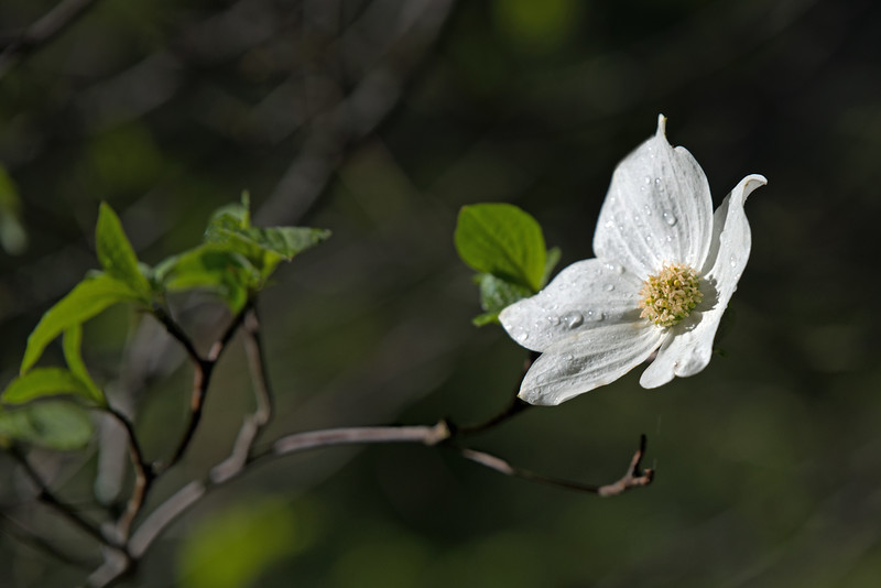 Dogwood, Yosemite National Park, April 2016
