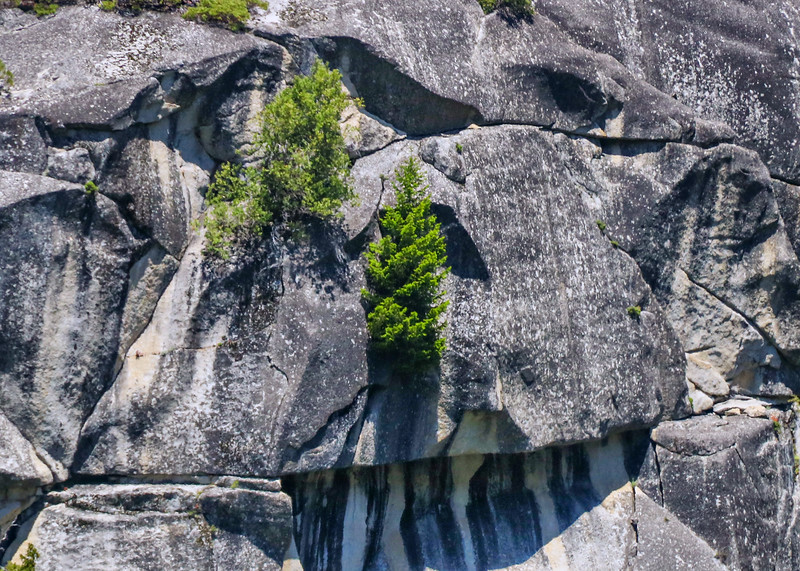 Mountain region trees are hardy. Many trees in Yosemite grow out of cracks in the cliffs.