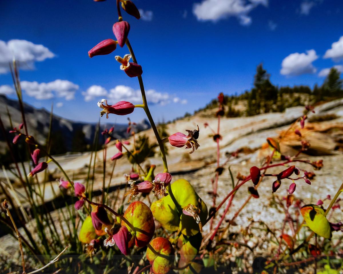 Mountain Jewelflower