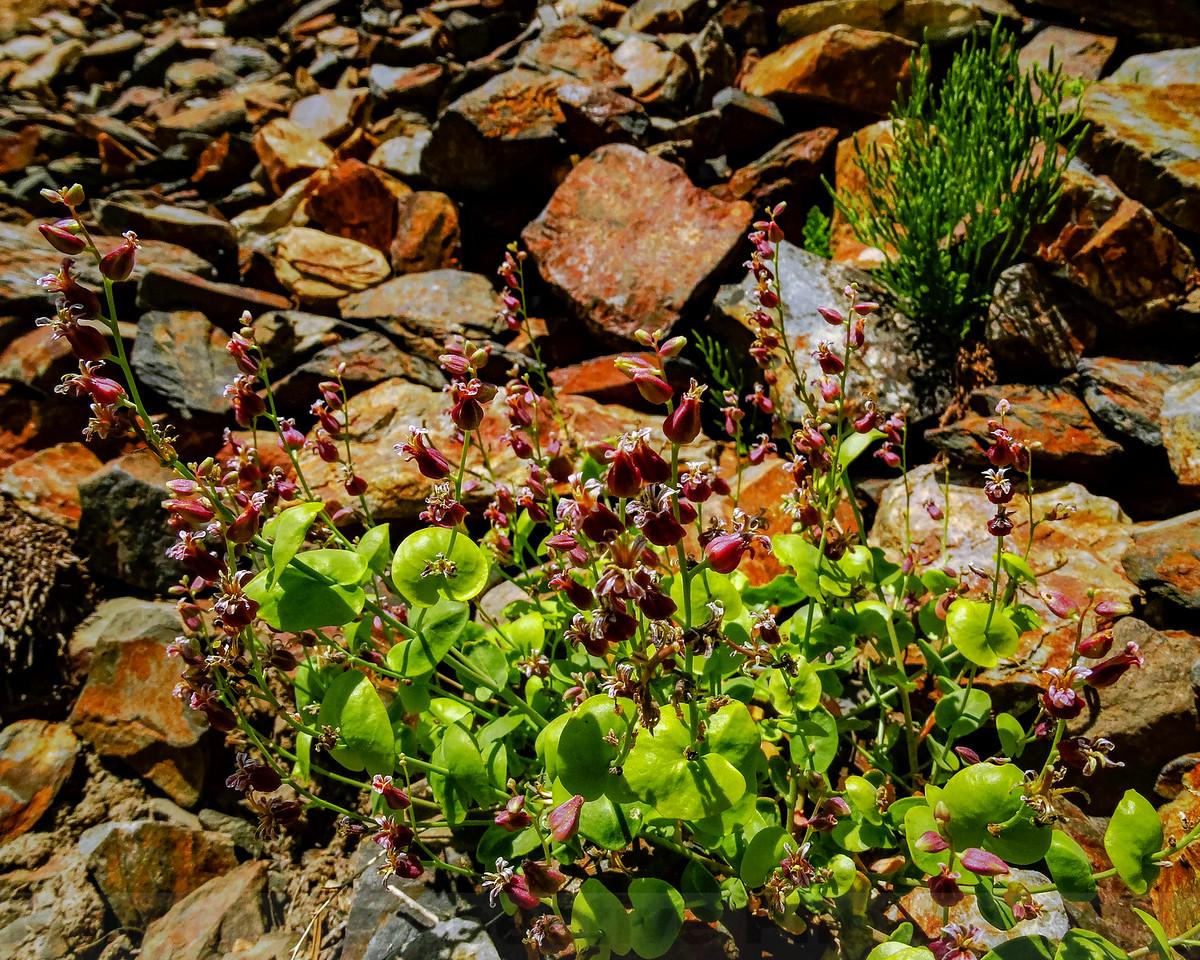 Mounttain Jewelflowers