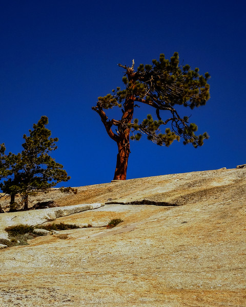 Ponderosa Pine above Olmsted Point