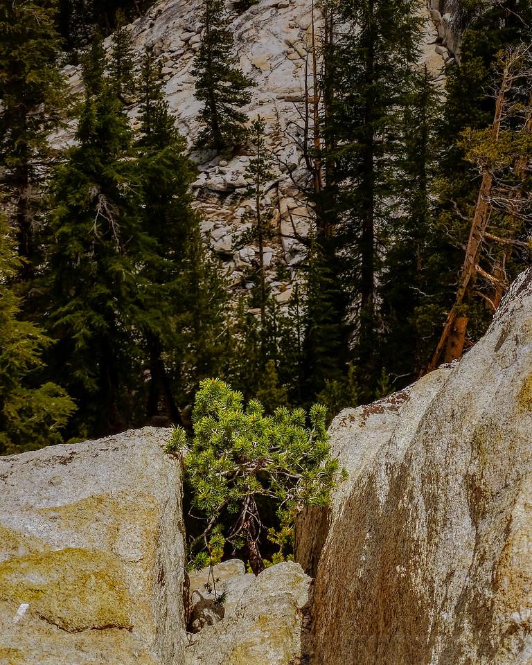 Lodgepole Pine in the Granite