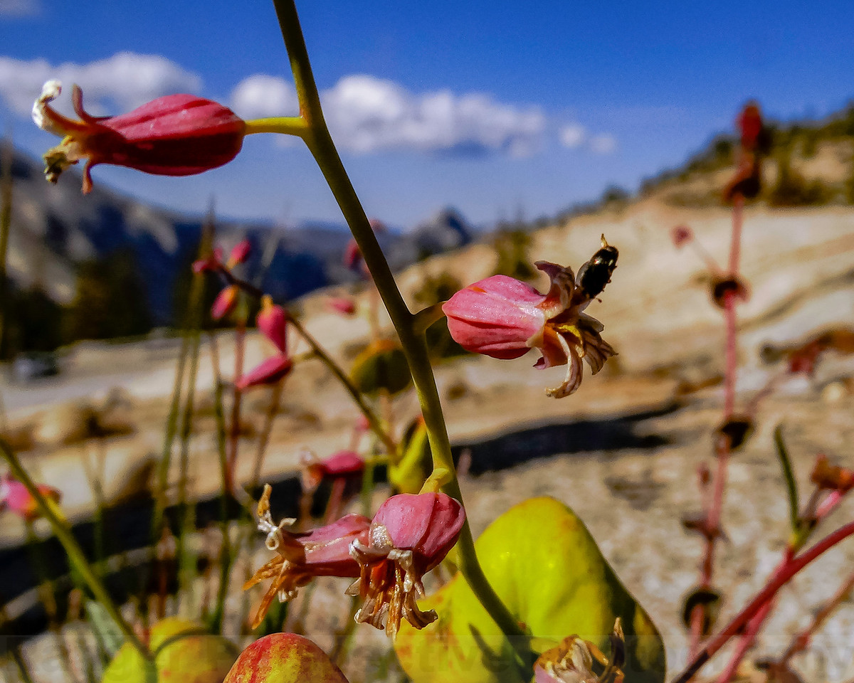 Close Up: Mountain Jewelflower