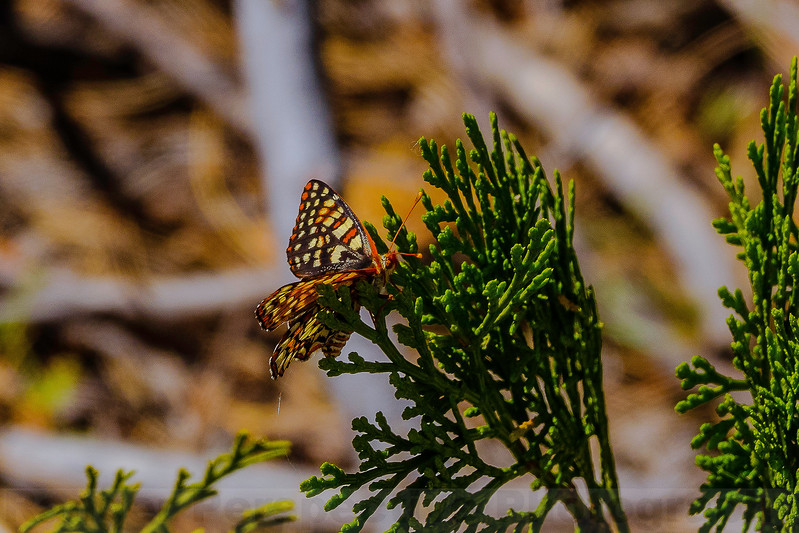 Variable Checkerspot Butterfly at Hetch Hetchy