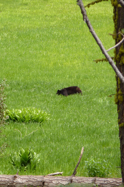 There in a meadow off Highway 120 - a magnificent bear!