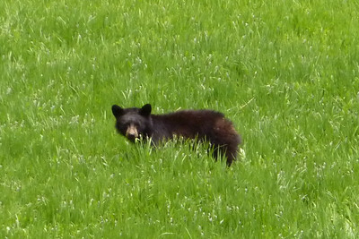 Bear Sighting and Lupines in Yosemite