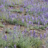 After a wildfire last year the Lupines are taking over!<br /> Yosemite National Park, Foresta Road.