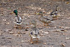 Ducks near Sentinel Bridge